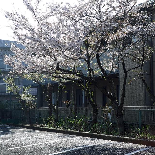 駐車場の桜